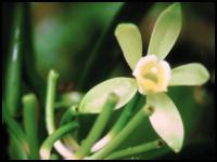 Vanille de Madagascar. Ce sont les planteurs réunionnais qui introduisent, vers 1880 à Madagascar, la culture de la vanille.