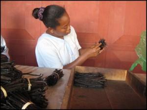 Les gousses sont triées une par une selon leur qualité et leur longueur, les plus souples et huileuses étant les plus prestigieuses.
