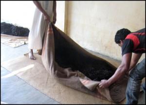 Vanille de Madagascar.  Les gousses sont mises dans des couvertures de laine pendant 12 à 48 heures pour en extraire l'excédent d'humidité de la vanille Bourbon.