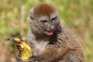 Hapalemur griseus griseus est le plus petit des lémuriens diurnes et il en existe trois espèces.
