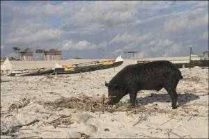 ....sont visités par quelques cochons noirs en liberté sur la plage de Salary à la recherche de leur nourriture.