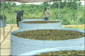 Jacinthe d'eau. Récipients utilisés pour l'élevage d'organismes pour la lutte biologique: Neochetina spp. et Cyrtobagous salviniae.