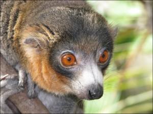 Lemur mongoz se distingue aussi beaucoup des autres Lemur de Madagascar par son rythme d'activité nocturne