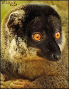 L'Eulemur Fulvus Fulvus, appartenant à la famille des Lemuridae, du genre Eulemur, est la seule sous espèce d'Eulemur Fulvus qui ne présente pas de dimorphisme sexuel marqué.