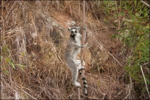 Les groupes de makis peuvent aller jusqu'à une vingtaine d'individus. Une femelle domine le groupe, ce qui est très rare chez les Primates.