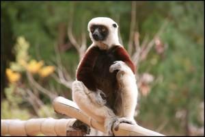 Le Prophithèque de Coquerel vit dans les forêts sèches caducifoliées (à feuilles non persistantes) de la partie Nord Ouest de Madagascar.