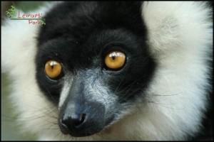 Le Varecia vit dans les forêts humides de l'Est de Madagascar.
