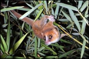 Microcebus marohita été nommé en référence à la forêt où il a été trouvé.