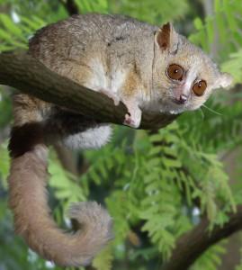 Microcebus tanosi fait référence à la région d'Anosy dans le sud est de Madagascar où l'animal a été trouvé