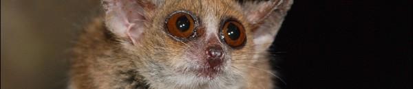 Une autre espèce parmi les 20 recensées : Microcebus murinus.