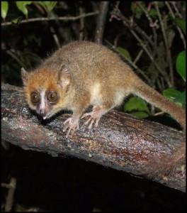 Le Microcèbe pygmée (Microcebus myoxinus) ou Microcèbe de Peters est l'un des plus petits espèce de microcèbe de Madagascar.