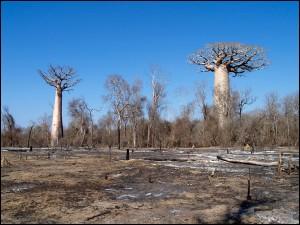 « Le débroussaillement par le feu et le braconnage sont les causes principales de la mise en danger des lémuriens »