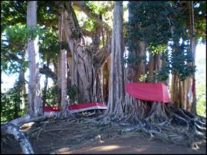 Le gigantesque figuier banian, arbre sacré à Nosy Be.