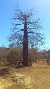Halte à l'ombre du baobab... VTT Diego Suarez