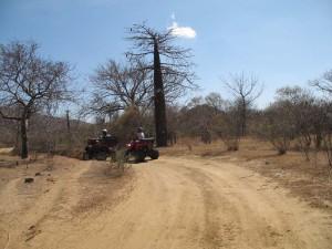 Quad Madagascar. Les baobabs endémiques de la région de Diego.