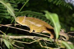 Quad Madagascar. Caméléon.