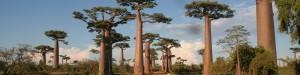 Allée des baobabs. Circuits à madagascar.