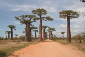 Madagascar découvertes. Allée des baobabs.