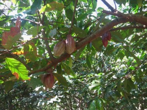 Madagascar découvertes. Cabosses de cacaotiers.