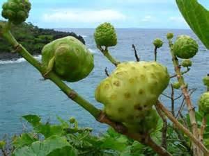 "Le ""nono"", fruit du morinda citrifolia."