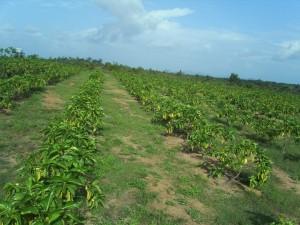 Plantation de morinda citrifolia.