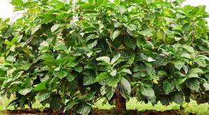 """Morinda citrifolia est un arbuste qui produit le """"nono"""" ou """"noni""""."""